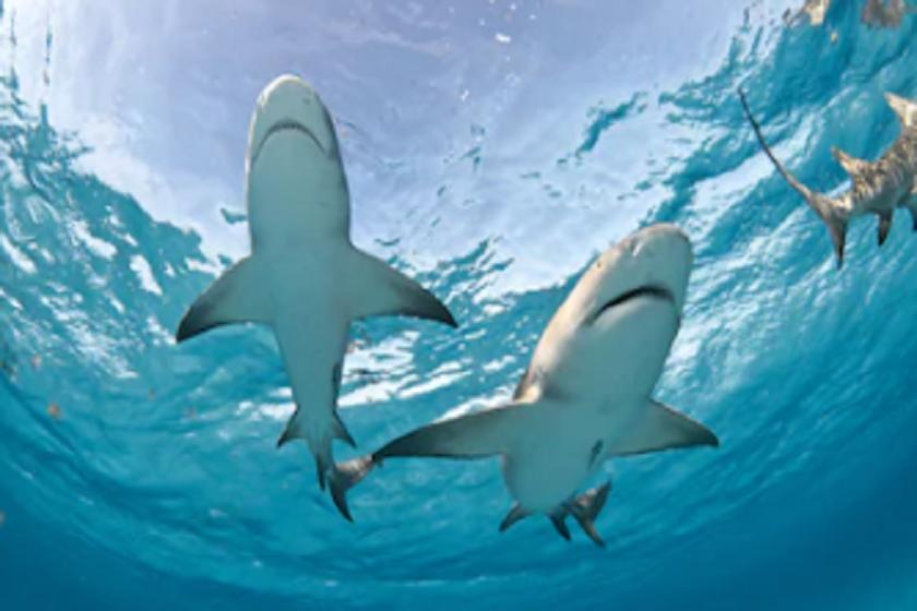 ზვიგენი