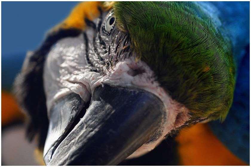 თუთიყუში დუგლასი