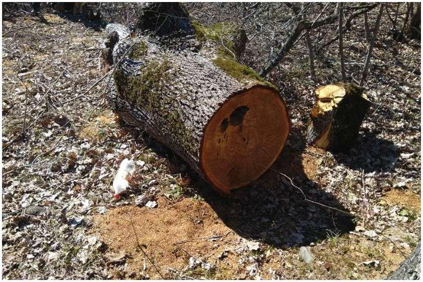 მოჭრილი მუხის ხე