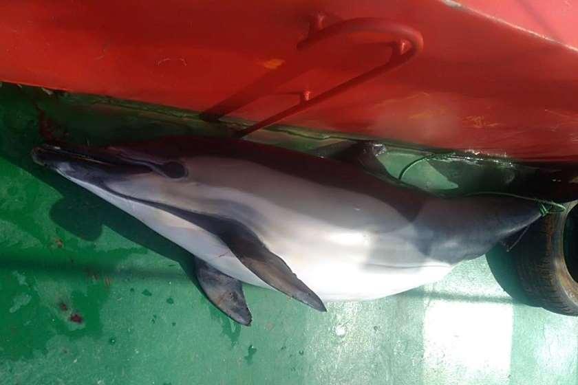 დელფინი