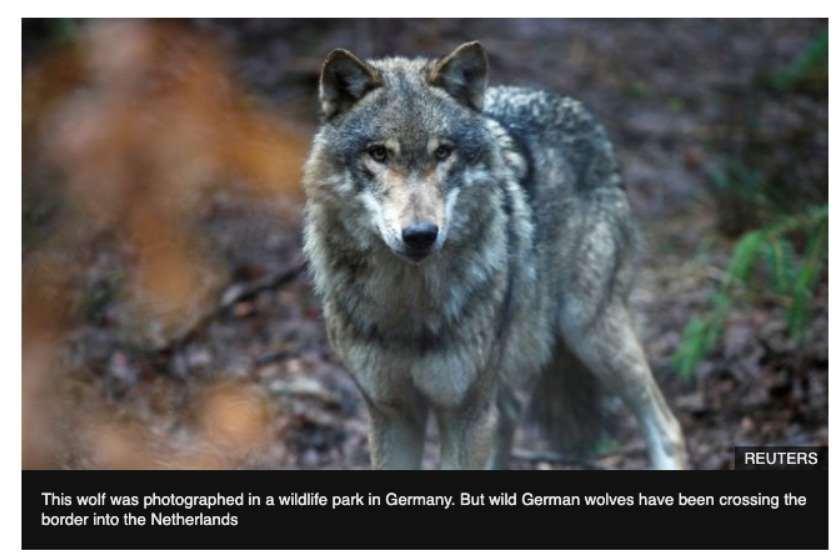 მგლები