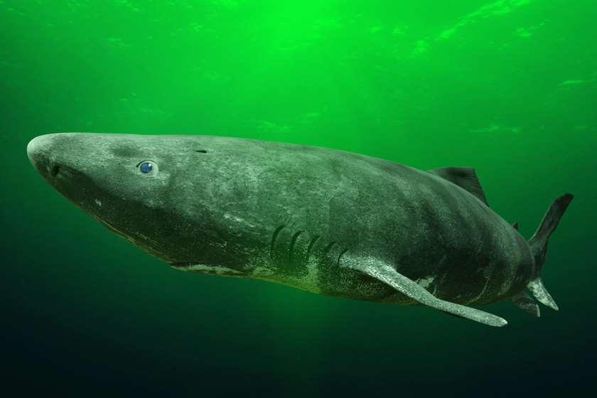 გრენლანდიური ზვიგენი