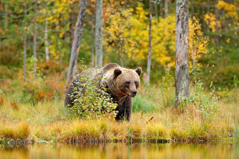 დათვი