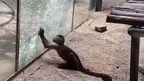 ჩინეთის ზოოპარკი, მაიმუნი