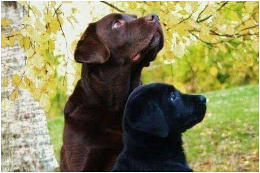 ძაღლები