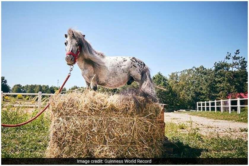 აპალუზას სახეობის ცხენი