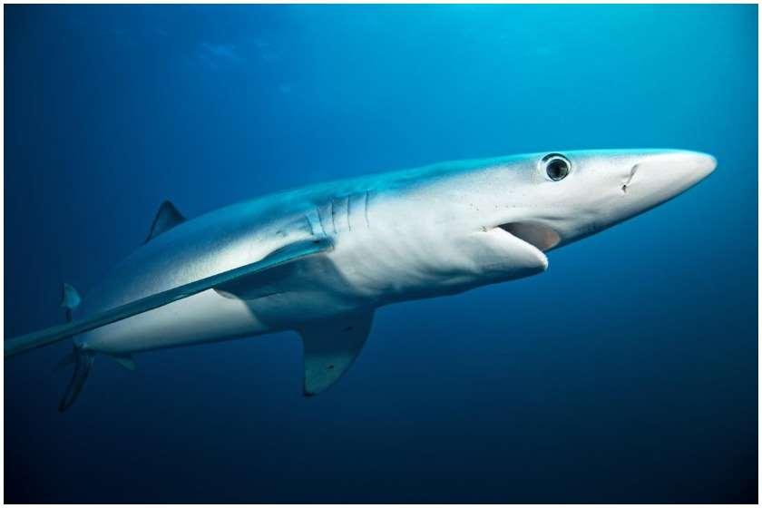 ცისფერი ზვიგენი
