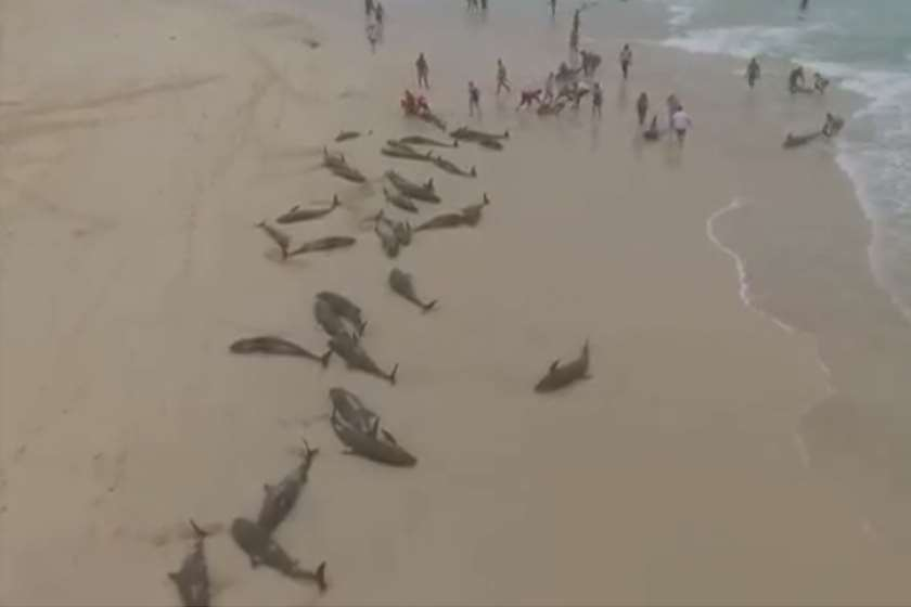 დელფინები