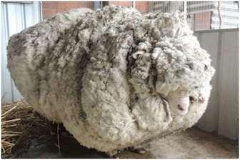 ცხვარი