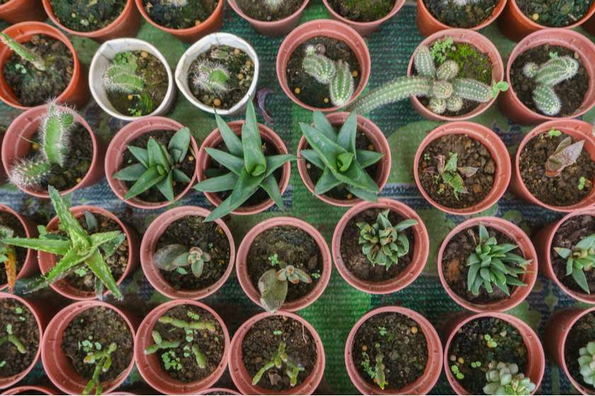 მცენარეები