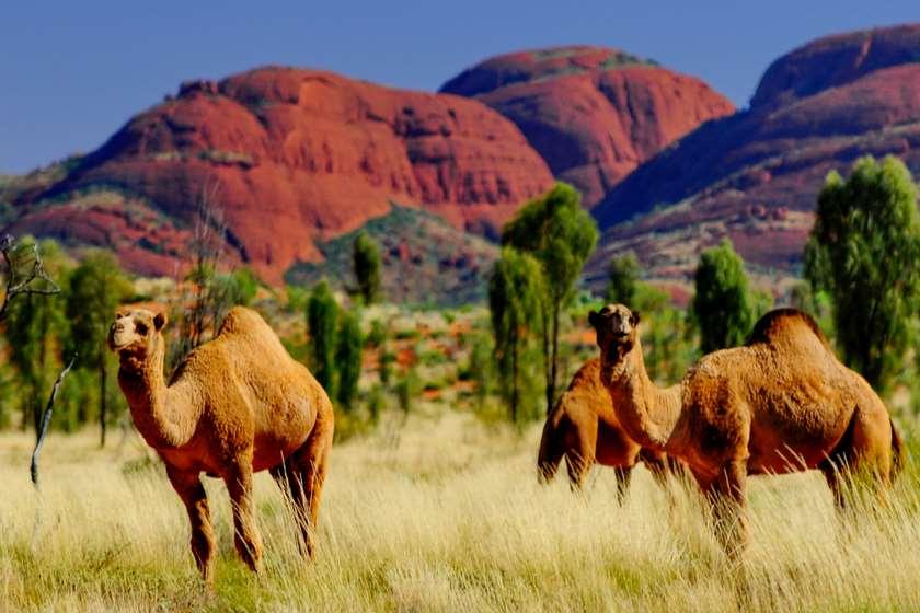 ავსტრალია აქლემები