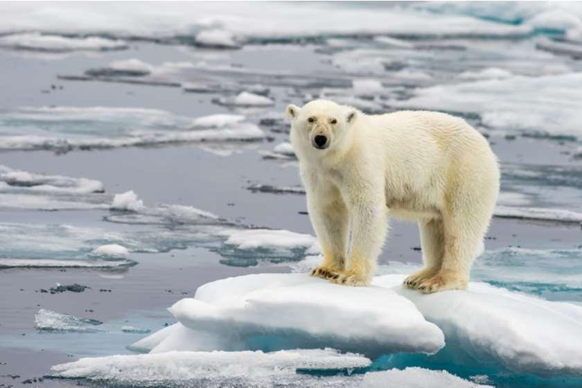 პოლარული დათვი