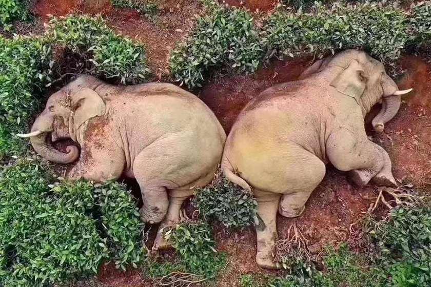 სპილოები ღვინო