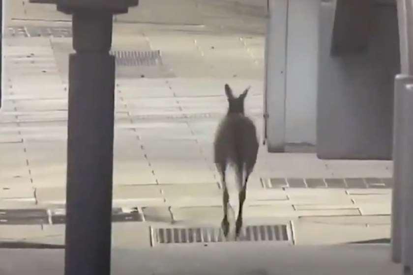ავსტრალია კენგურუ