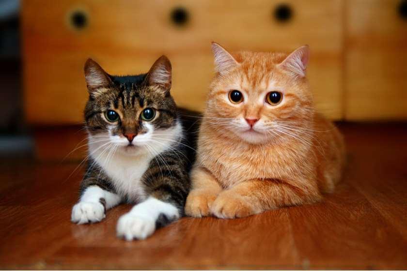 კატები კორონავირუსი