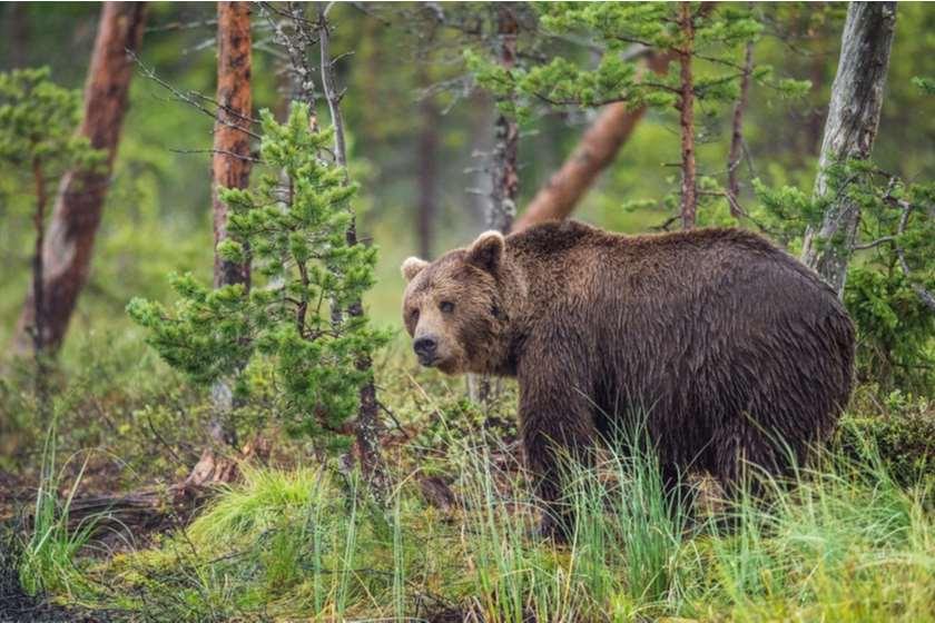 დათვი რუსეთი