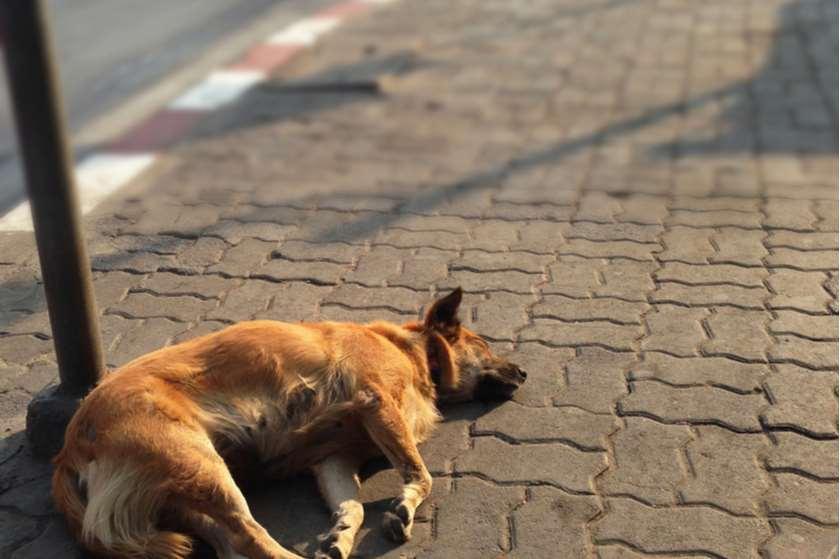 ქუჩის ძაღლი
