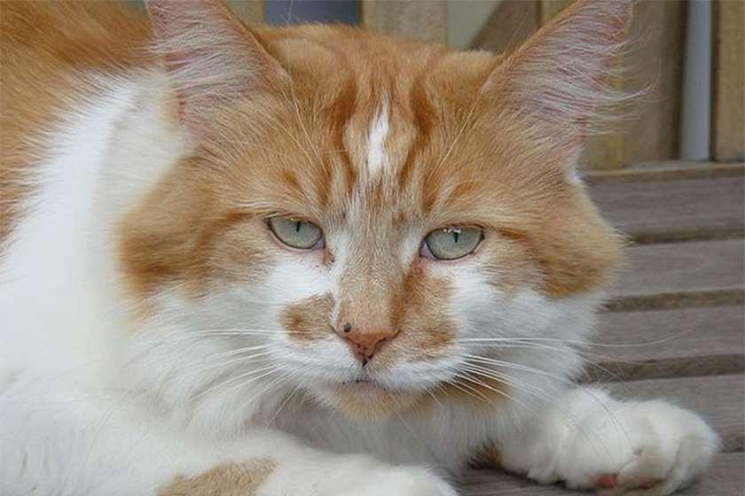 ყველაზე ასაკოვანი კატა
