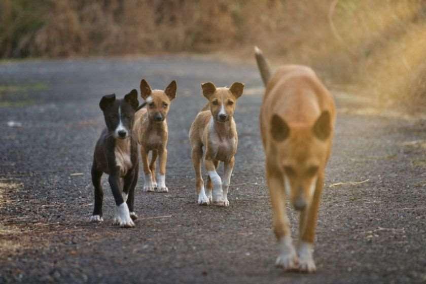 ინდოეთი ძაღლები