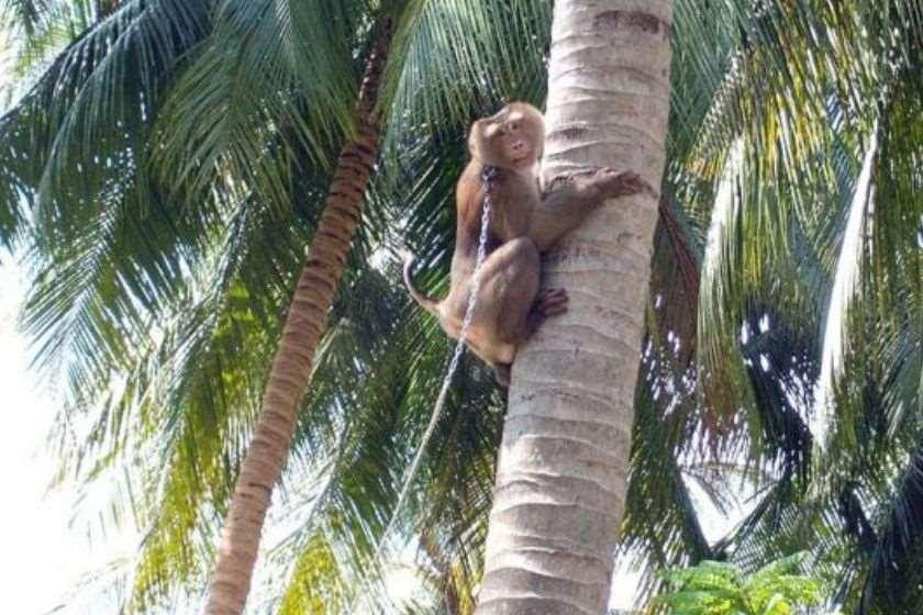 მაიმუნი ქოქოსი