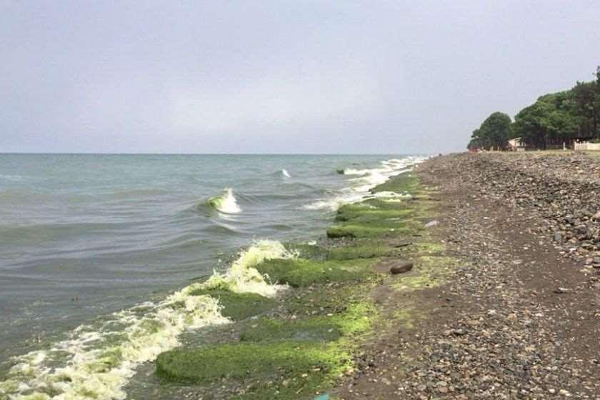 შავი ზღვის სანაპირო ზოლში წყალმცენარეების წარმოქმნა