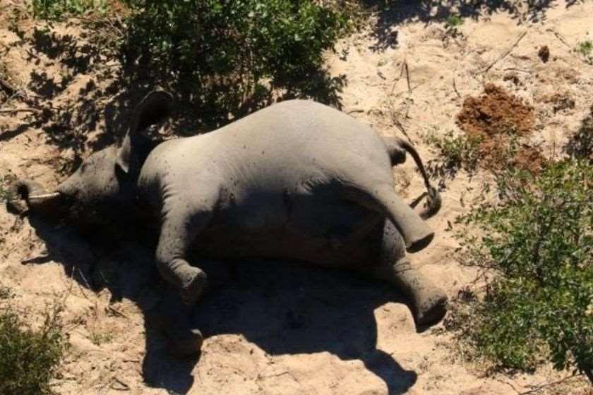 სპილო ბოტსვანა მკვდარი